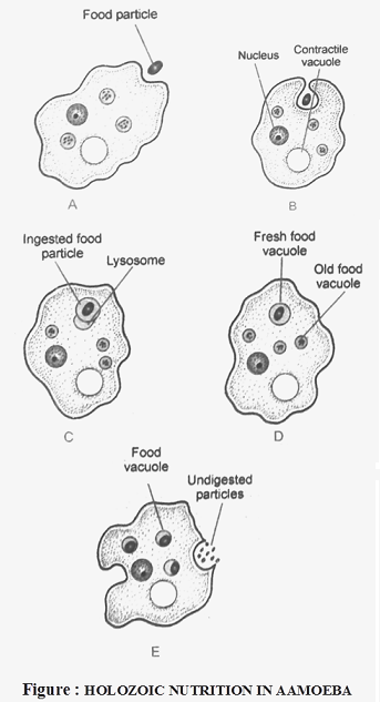 Nutrition In Amoeba Biology  Knowledgeuniverseonline Com