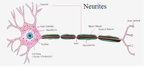 Structure of nerve cell biology a neuron has three parts cell body dendrites and axon the term neurites is used for both dendrites and axon ccuart Gallery