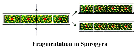Asexual reproduction or fragmentation in spirogyra movement