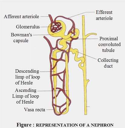 Parts of a nephron diagram auto electrical wiring diagram structure of nephron biology rh knowledgeuniverseonline com label the parts of a nephron on the diagram to the right blank nephron diagram ccuart Choice Image