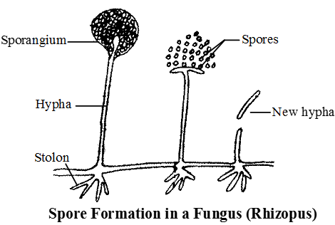 Asexual reproduction in plants fragmentation rounds