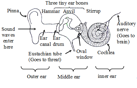 The human ear physics eustachian tube connects the middle ear to throats and ensures that the air pressure inside the middle ear is the same as that on the outside ccuart Gallery