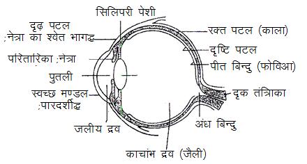 Human eye diagram in hindi house wiring diagram symbols human eye physics rh knowledgeuniverseonline com labelled diagram of human eye in hindi human eye diagram ccuart Gallery